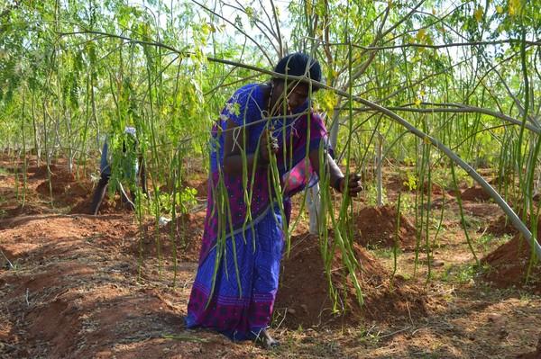Người dân trồng cây Moringa oleifera
