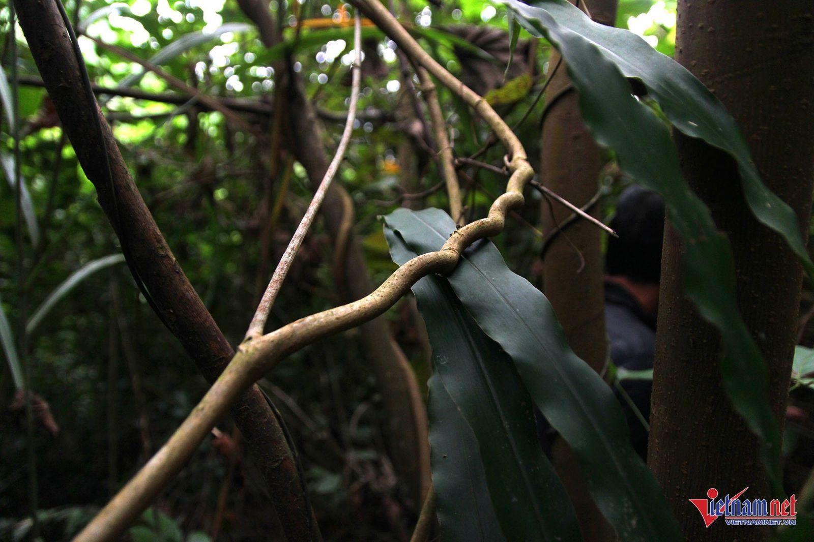 Thân cây nhượng nằm ẩn khuất sau những tán cây rậm rạp