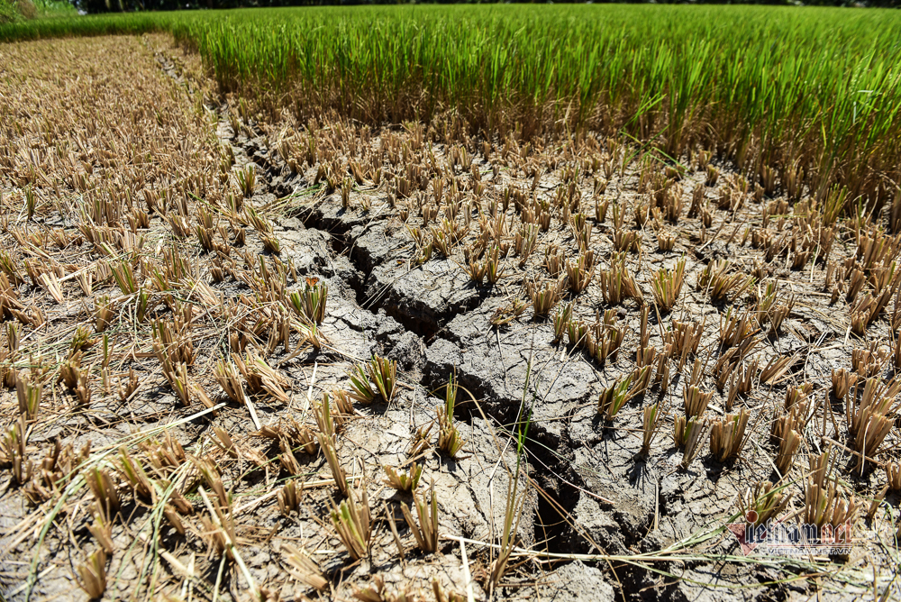 Hạn mặn khốc liệt, lúa chết non, khắp miền Tây mang can đi thồ nước