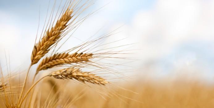 Lúa mạch có chứa nhiều orp